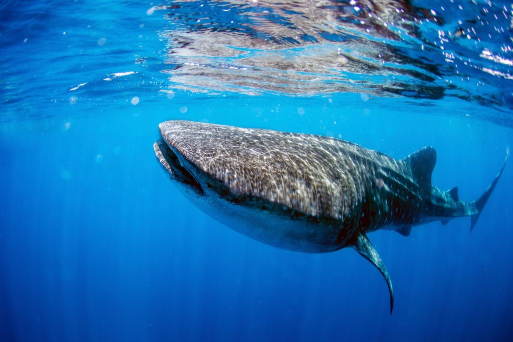 Cancun Bucket List whale sharks