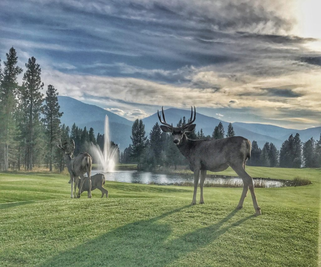 Best things to do in Whistler golfing deer wildlife