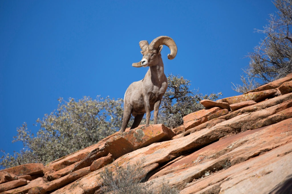 Zion Bucket List Bighorn Sheep
