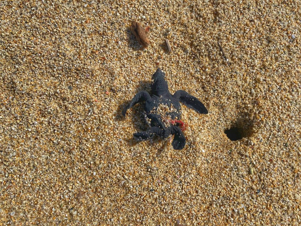 Sea Turtles in Sayulita